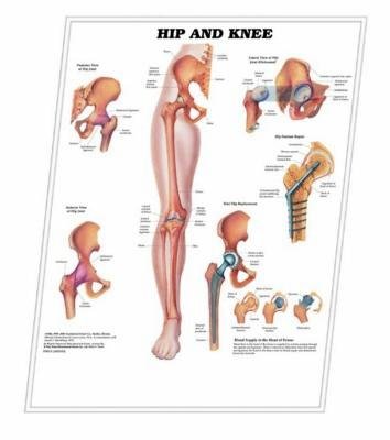 3D ANATOMICAL CHART HIP AND KNEE