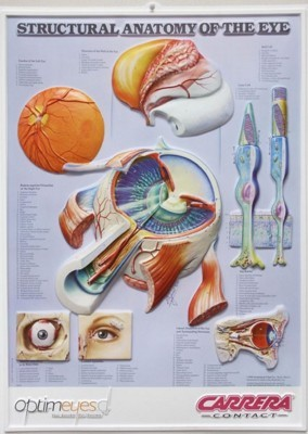 3D ANATOMICAL CHART STRUCTURAL ANATOMY OF THE EYE